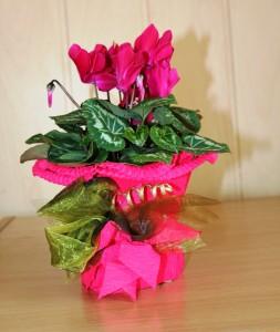 Cyklamen różowy w doniczce