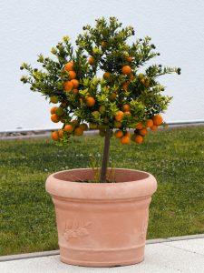 Domowa hodowla warzyw i owoców - drzewko pomarańczy