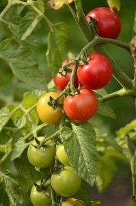 sadzonki - pomidorki