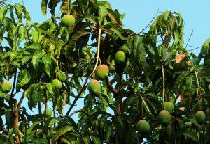 sadzonki - dzrewo mango